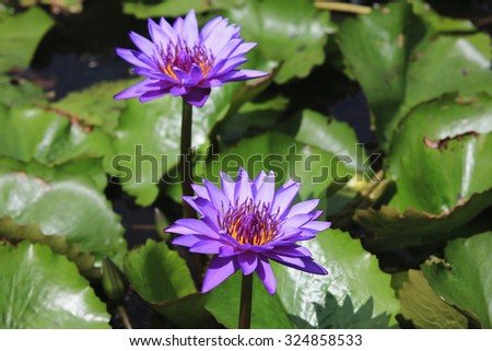 Water Lily and green leaves,two beautiful purple flowers blooming in the pond in autumn - stock photo