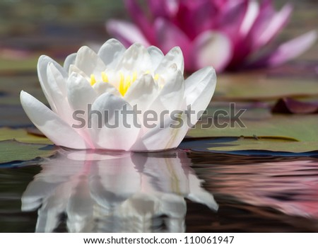 Water Lily at Mission San Juan Capistrano, San Juan Capistrano, California. - stock photo