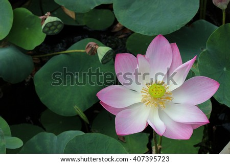 Water lily,blooming lotus flower in the field among the green leave - stock photo