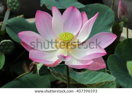 Water lily,blooming lotus flower in the pond - stock photo