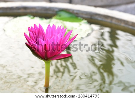 Water Lily blooming on water - stock photo