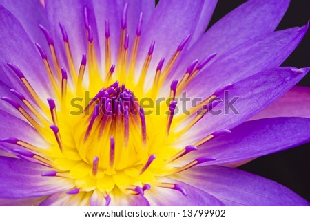 water lily closeup - stock photo