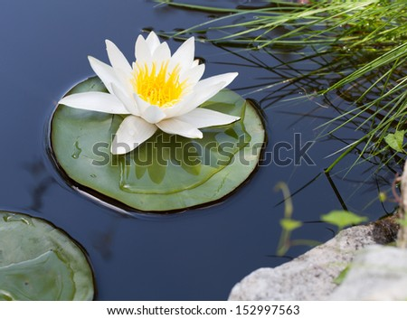 Water lily floating on lake - stock photo