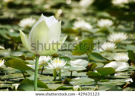 Water lily flower over water background - stock photo