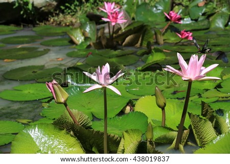 Water Lily flowers and butterflies,beautiful pink flowers and buds blooming in the pond with two butterflies in summer - stock photo