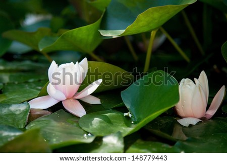 Water lily flowers in a pond - stock photo