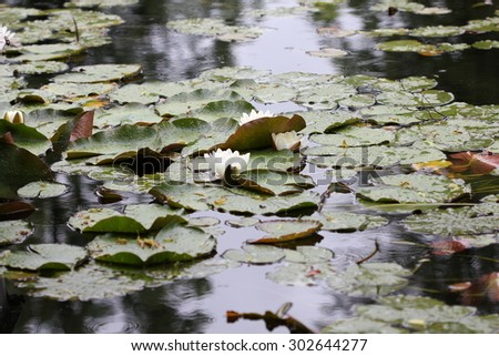 Water lily flowers on pond 7712 - stock photo