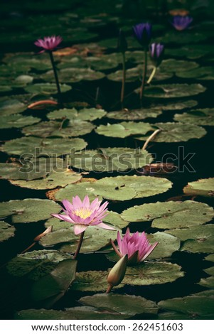 Water Lily in Green plants in Singapore Botanic Gardens  - stock photo