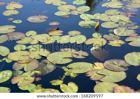 water lily in the nature at a lake - stock photo