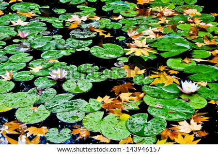 water-lily in the pond - stock photo