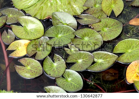 Water lily leaves - stock photo