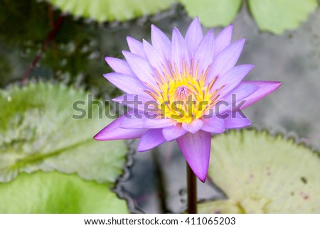 Water Lily - Lotus Flower - Nelumbo Nucifera in Dominican Republic Botanical Garden - stock photo