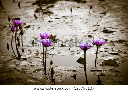 water lily lotus flower on garden - stock photo
