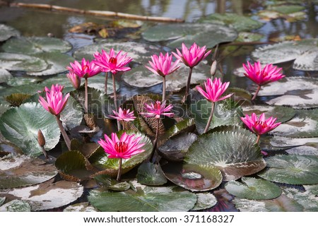 Water lily, Lotus in the pond - stock photo