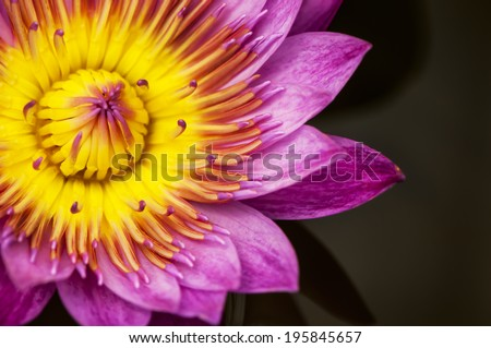 Water Lily Lotus, selective focus - stock photo