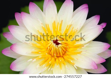 Water lily (Nymphaea alba) in the pond - stock photo