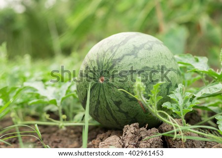 water melons on the ground - stock photo