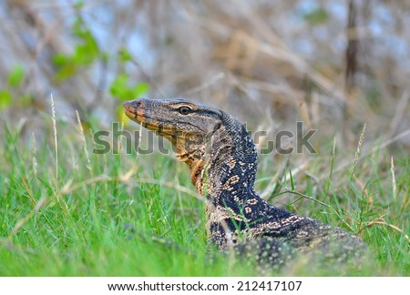 Water monitor closeup side and head profile - stock photo