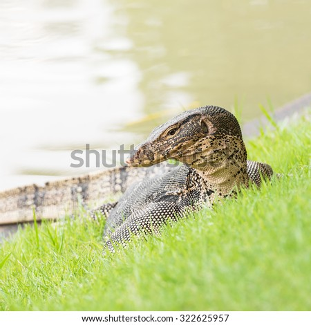 Water monitor lizard in action of crawl at riverside - stock photo