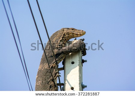 Water monitor On power pole - stock photo