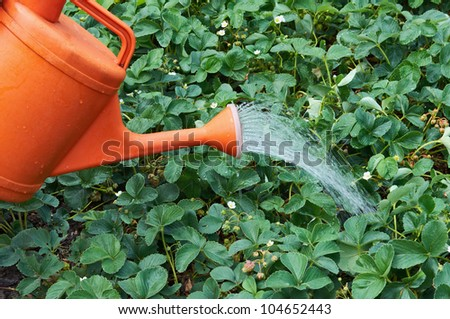 Water pouring from orange watering can onto blooming garden strawberry - stock photo