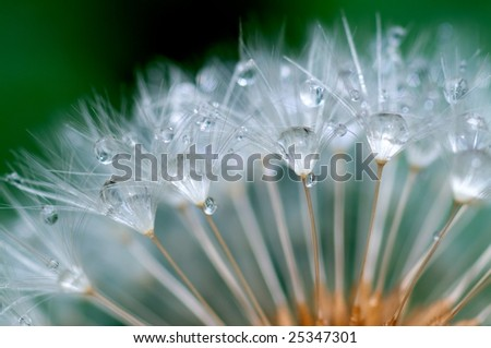 Water  remain in the dandelion - stock photo