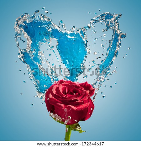 water splash and rose on blue background - stock photo