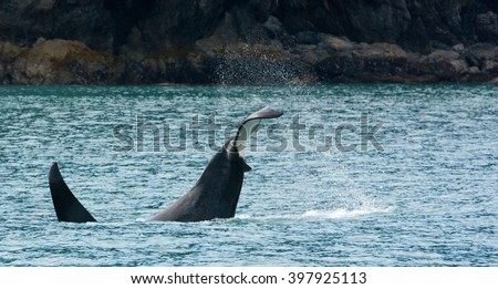 Water sprays everywhere as an orca smashes its tail into the water. - stock photo