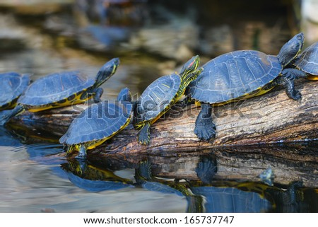 Water turtles in row marching on a log - stock photo
