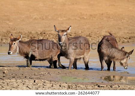 Waterbuck antelopes (Kobus ellipsiprymnus) in mud, Pilanesberg National Park, South Africa - stock photo