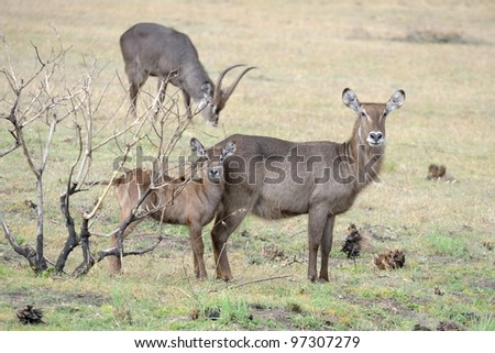 Waterbuck family at Arusha national park in Tanzania - stock photo