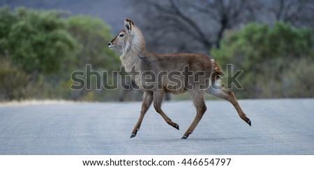 Waterbuck (Kobus  Ellipsiprymnus) Kruger National Park, South Africa - stock photo