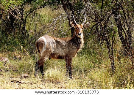Waterbuck (Kobus ellipsiprymnus) male with long horns in Kruger National park. Large antelope. Wild nature. Safari.  Autumn in South Africa.  - stock photo