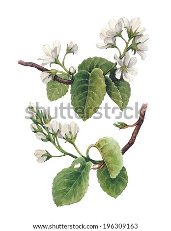 Watercolor apple flowers  - stock photo