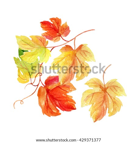 Watercolor autumn branch with colorful leaves. Grape vine leaves isolated on white background. Hand painted autumn garden illustration - stock photo