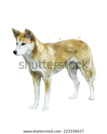 Watercolor Digital Painting Of Australian Dingo Dog - stock photo