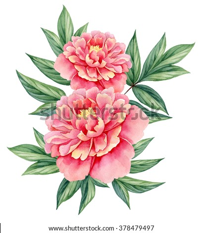 watercolor flower peony pink green leaves decorative vintage illustration isolated on white background - stock photo