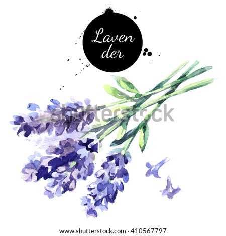Watercolor hand drawn bunch of lavender flowers. Isolated eco natural herbs illustration on white background - stock photo