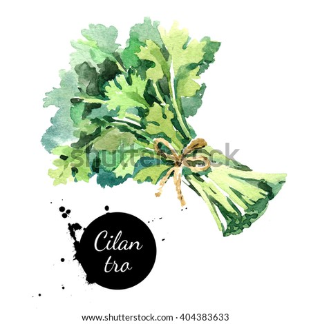 Watercolor hand drawn cilantro bunch. Isolated eco natural food herbs illustration on white background - stock photo