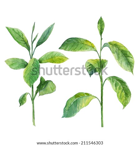 Watercolor hand drawn green leaves isolated on white background - stock photo