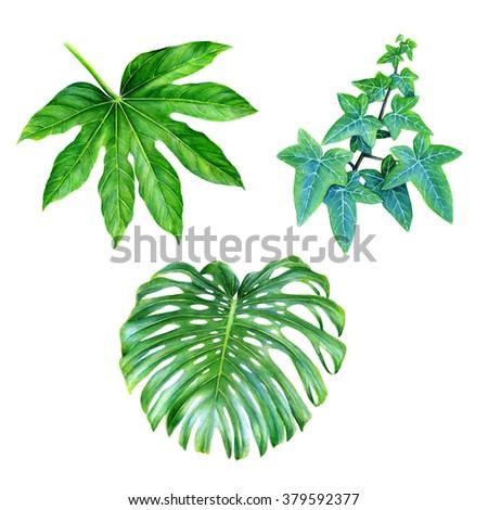 Watercolor hand drawn illustration. Tropic leaves isolated on white background. Clip art elements. Ivy, Monstera deliciosa (Ceriman), Ricinus communis (Castor-oil-plant, Zanzi palm) - stock photo