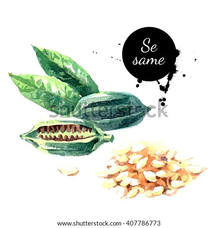 Watercolor hand drawn sesame. Isolated eco natural food herbs and seeds illustration on white background - stock photo