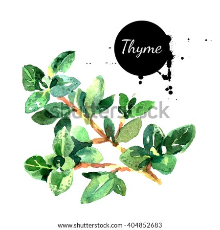 Watercolor hand drawn thyme bunch. Isolated eco natural food herbs illustration on white background - stock photo