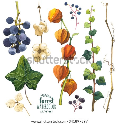 Watercolor illustration with branches, leaves and berries. Set of winter and autumn forest plants. Collection of herbarium garden. Snowberry, cape gooseberry, ivy and wild grape. - stock photo