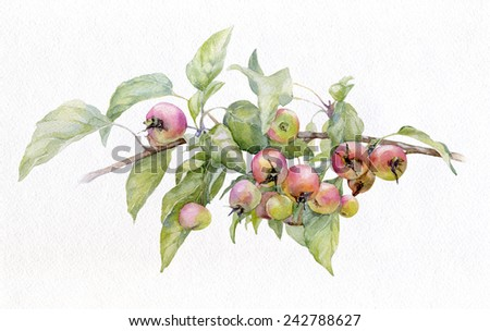 Watercolor image of an apple-tree branch with green leaves and ripe apples small. - stock photo