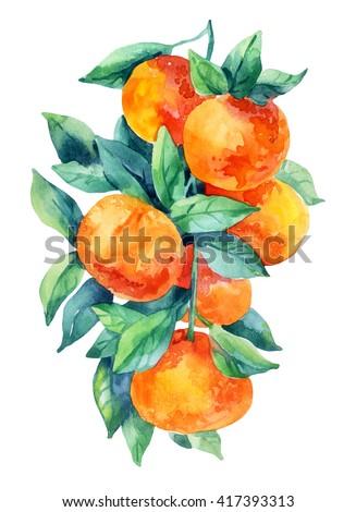Watercolor mandarine orange fruit branch with leaves isolated on white background. Orange citrus tree. Mandarin branch. Tangerine branch with leaves. Hand painted illustration - stock photo