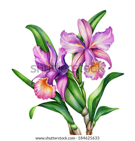 watercolor original painting of pink and purple Cattleya orchids and green leaves, botanic illustration  - stock photo