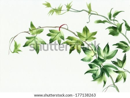 Watercolor painting of green ivy leaves isolated on white - stock photo