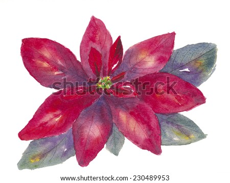 Watercolor painting of red poinsettia or Christmas Star. - stock photo