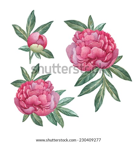 Watercolor peony flowers - stock photo